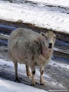 Sheep 002
