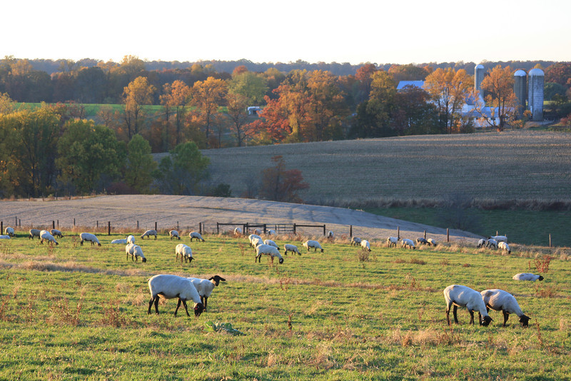 Sheep + fall  landscap