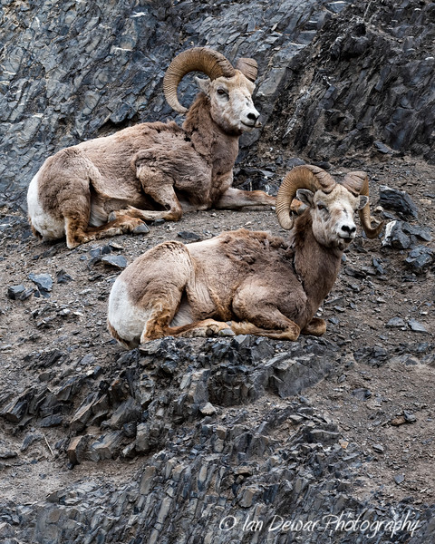 Male Bighorn Sheep on mountainside