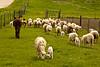 Sheep and Donkey Heading to the Pasture, Iowa County, Wisconsin