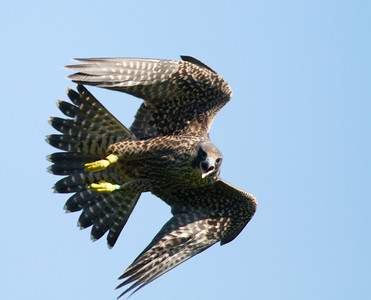 Shenandoah National Park: Pergerine Falcons 2013