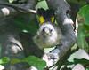 American Redstart, fledgling