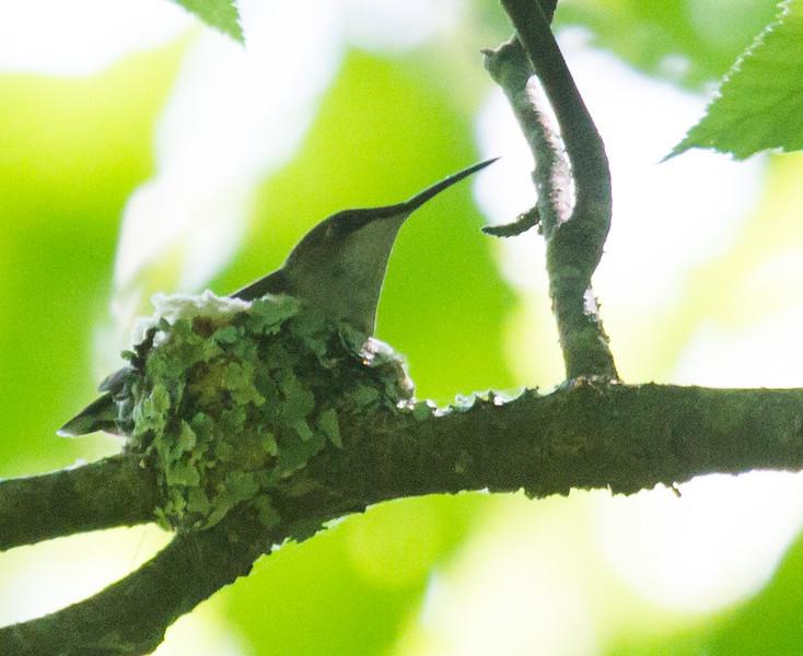 Female Ruby-throated Hummingbird, on nest