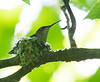 Female Ruby-throated Hummingbird, on nest