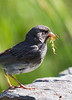 Dark-eyed Junco with nest material