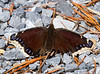 Mourning Cloak butterfly; Madison Run
