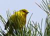 Pine Warbler, Madison Run