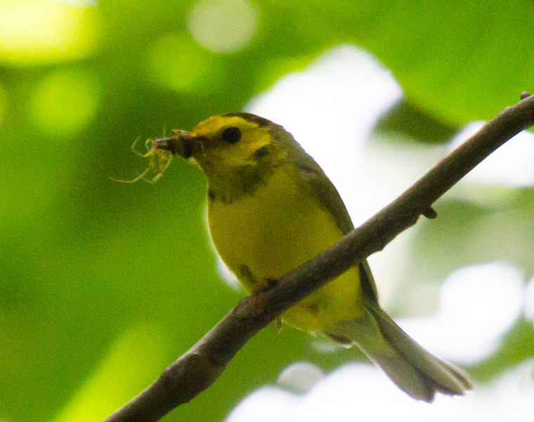 Hooded Warbler, female carrying food