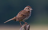 Song Sparrow<br /> Big Meadows, 7-4-11