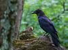 Common Raven, juvenile - Lewis Mountain Campground