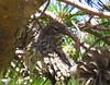 Yellow-rumped Warbler Fledgling