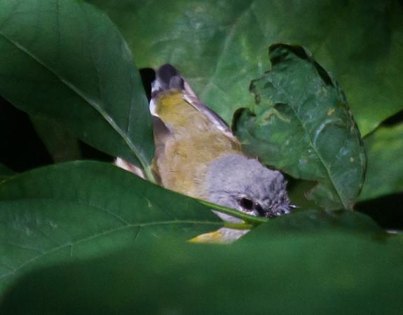 American Redstart Fledgling