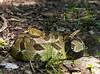 Timber Rattlesnake<br /> 7-19-15