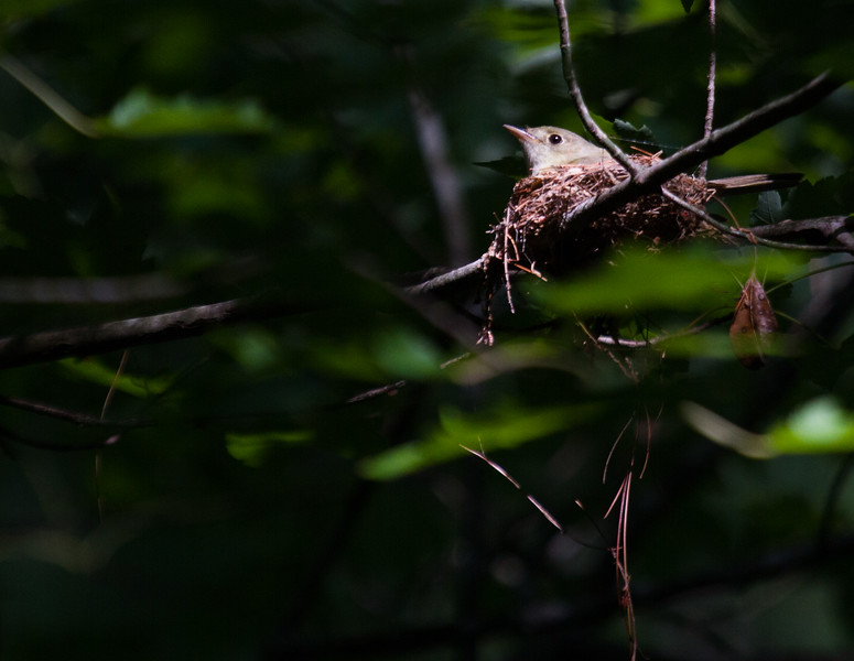Acadian Flycatcher on nest