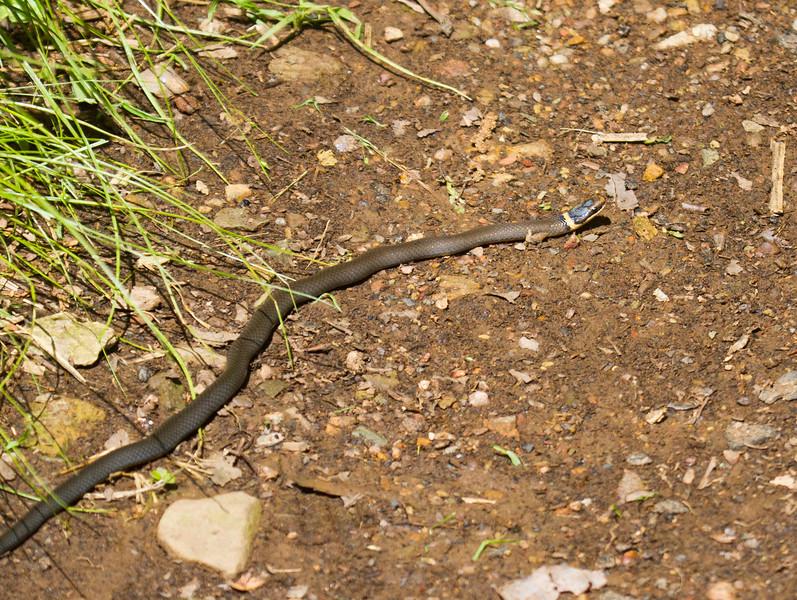 RInged-necked Snake
