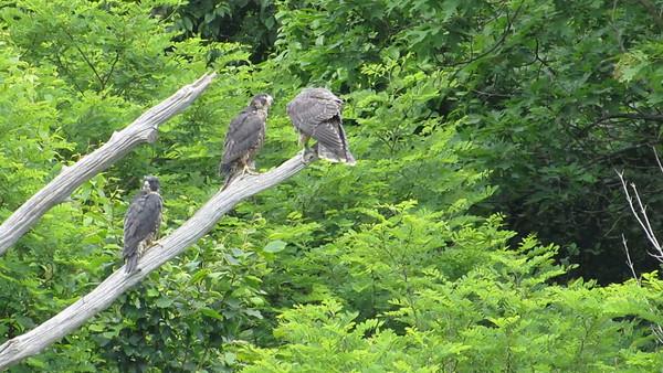 Shenandoah National Park: Peregrine Falcons 2015