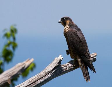 Shenandoah National Park: Peregrine Falcons 2014