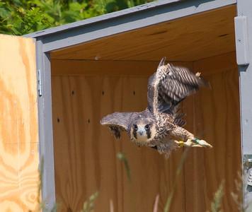 Shenandoah National Park: Peregrine Falcons 2012