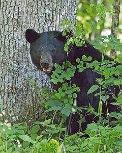Sow Black Bear