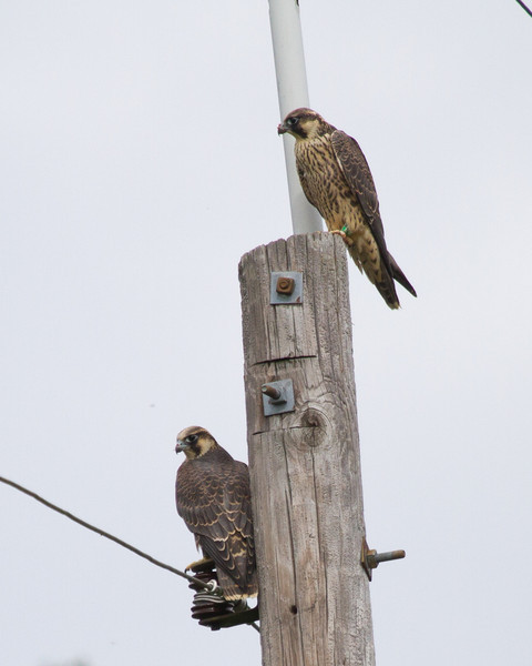 Green and Yellow-banded birds, nest-mates and the last two birds released.   They were waiting for food when we arrived in the morning.  Today was expected to be the last day the birds were monitored.  This through and including the photo of spider are of my last Peregrine trip of the year.