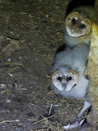 Shenandoah Valley: Barn Owls 2015