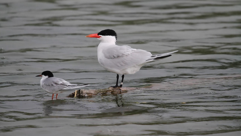 Forster's Tern (left) and Caspian Tern<br /> Silver Lake