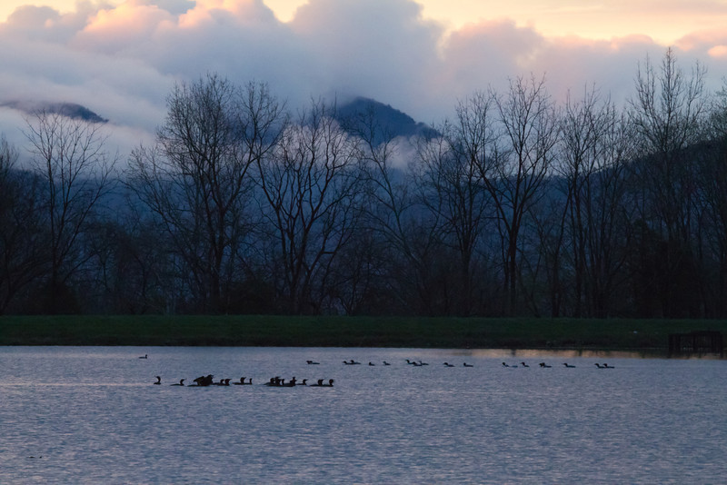 Migrating drop-ins: Common Loons (rearward group) and Double-crested Cormorants at sunrise<br /> Lake Shenandoah, 4-13-11
