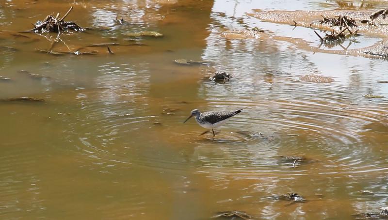 Solitary Sandpiper<br /> Faughts Rd (roadside farm pond just west of Leonard's Pond)