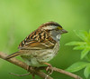 White-throated Sparrow, the season's last in the yard...note eye issue.  The left eye is fine, but the bird is obviously impaired.<br /> Yard - 5/18/13