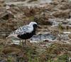 Black-bellied Plover<br /> Leonard's Pond, 5/22/13