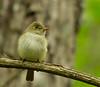 Acadian Flycatcher<br /> Slate Lick, George Washington National Forest, 5/26/13