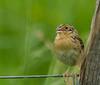 Grasshopper Sparrow<br /> Augusta Co., 5/19/13