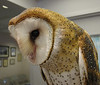 Barn Owl<br /> (obviously a high-society owl, considering the barn's decor!)