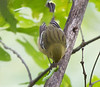 Bay-breasted Warbler<br /> Howardsville Pike, Augusta Co. 9-17-11