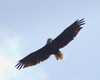 Bald Eagle<br /> Cross Keys 9-17-11