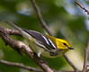 Black-throated Green Warbler<br /> Yard, 9/15/12