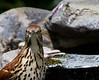 Brown Thrasher<br /> Yard