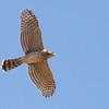 Cooper's Hawk<br /> Lumber Mill Rd, Dayton 9-7-15
