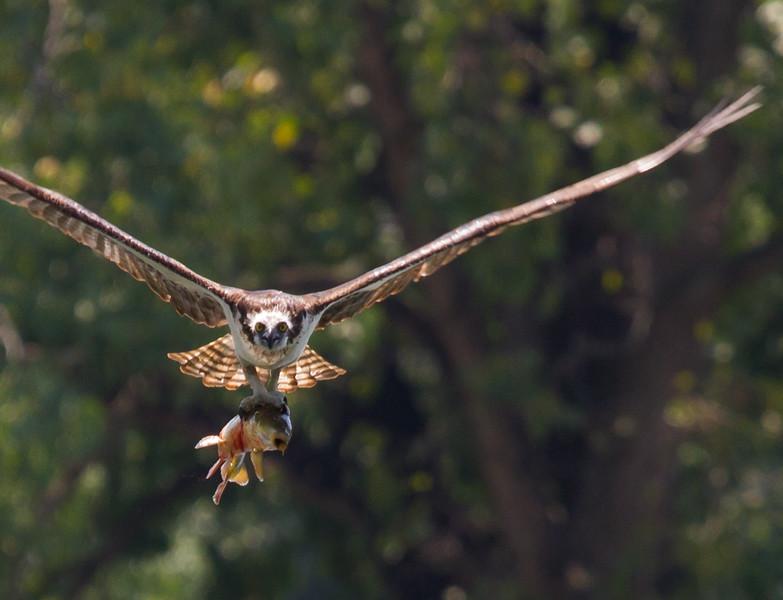 Osprey <br /> Sliver Lake, 8-4-15
