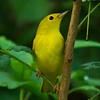 Yellow Warbler<br /> Yard, 8-16-15