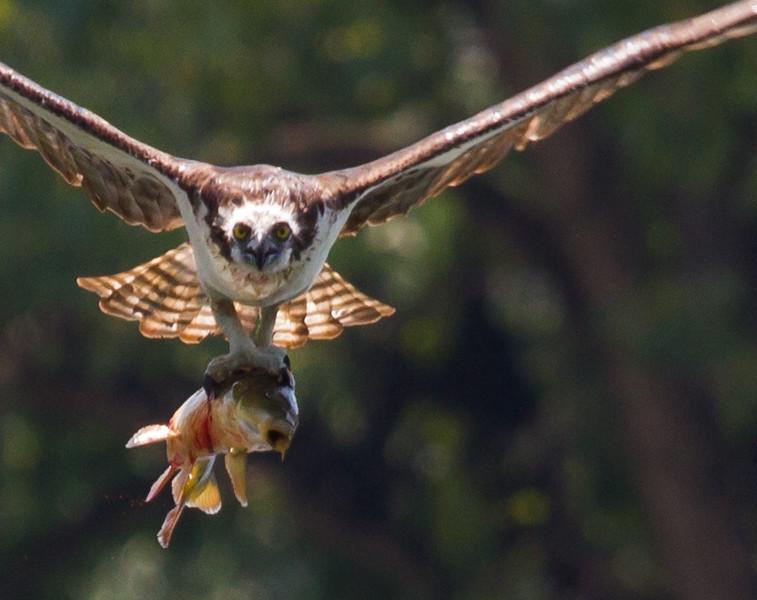 Osprey with BIG meal<br /> Sliver Lake, 8-4-15