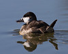Ruddy Duck<br /> 12-11-2011