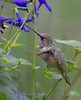 Rufous Hummingbird<br /> Cannery Woods Rd, Dayton, 11-3-12