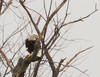 Bald Eagle<br /> Augusta County, 11/12/12