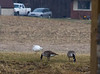 Ross's Goose with Canada Geese<br /> Narrowback Rd, Mt. Solon, 12-2-12