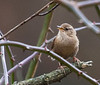 Winter Wren<br /> Todd Lake, Augusta Co,. 12-2-2