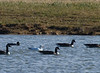 Ross's Goose with Canada Geese and Mallard<br /> Narrowback Rd, Mt. Solon, 12-2-12