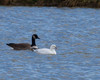 Ross's Goose with Canada Goose<br /> Narrowback Rd, Mt. Solon 12-2-12 (photo for ID)