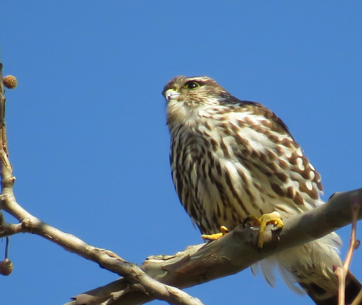 Merlin<br /> Lake Shenandoah, 12/21/13