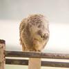 Snowy Owl<br /> Dayton, 12-3-13